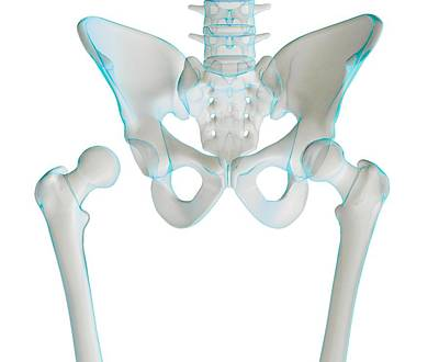Hip Joint Bones And Anatomy, Artwork Art Print by Science Photo Library