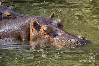 Kids Cartoons - Hippo in water by Patricia Hofmeester