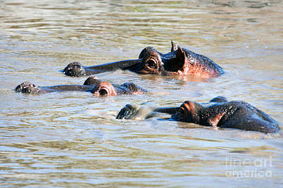 Head Photograph - Hippopotamus Group In River. Serengeti. Tanzania by Michal Bednarek