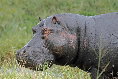 Photograph - Hippopotamus by Tony Murtagh