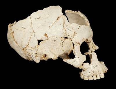 Hominin Skull From Sima De Los Huesos Art Print