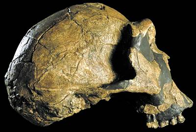 Er Photograph - Homo Ergaster Skull (knm-er 3733) by Science Photo Library