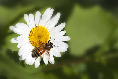 Photograph - Summer Time Bee by Christina Rollo