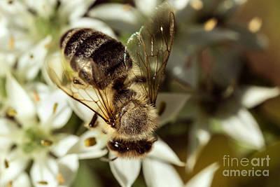 Honey Bee On Garlic Chive Art Print by Iris Richardson