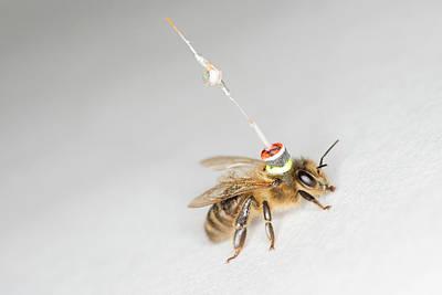 Honeybee Photograph - Honeybee Radar Tagging by Louise Murray