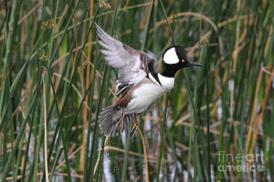 Photograph - Hooded Merganser Take-off by Jennifer Zelik