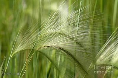 Photograph - Hordeum Jubatum Grass by J McCombie
