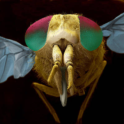 Bloodsucker Photograph - Horsefly by Eye of Science