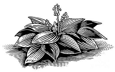 Hosta, Lino Print Art Print