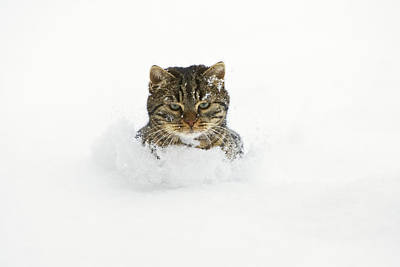 Photograph - House Cat In Deep Snow Germany by Konrad Wothe