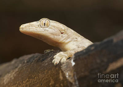 Photograph - House Gecko by Dan Suzio