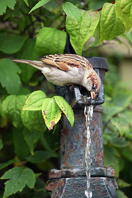 Cornus Photograph - House Sparrow Drinking Water by Simon Booth