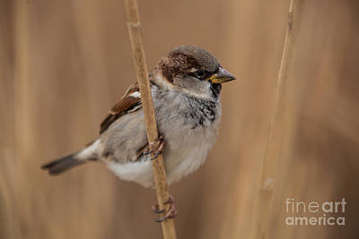 Photograph - House Sparrow Passer Domesticus by Gabor Pozsgai