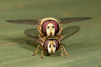 Hover-flies Art Print by Nigel Downer