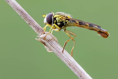 Stoke Photograph - Hoverfly by Heath Mcdonald