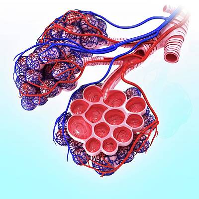Human Alveoli Art Print by Pixologicstudio