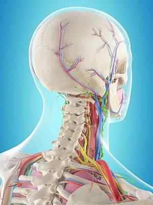 Biomedical Illustration Photograph - Human Anatomy by Sciepro