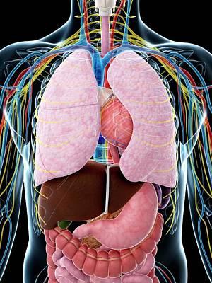 Biomedical Illustration Photograph - Human Anatomy by Sebastian Kaulitzki