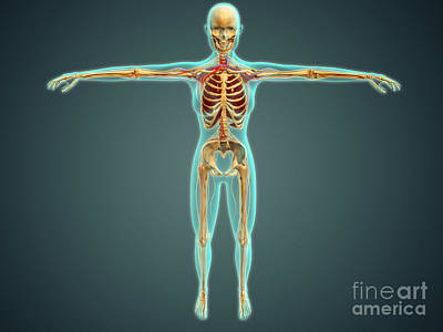Human Body Showing Skeletal System Art Print by Stocktrek Images
