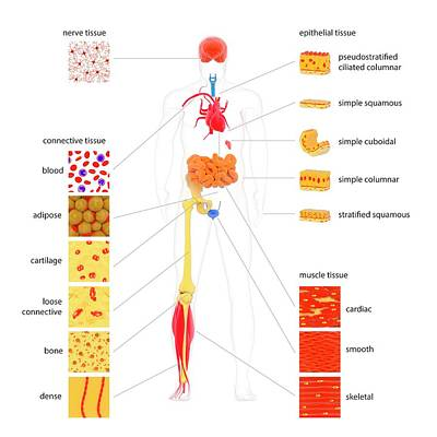 Physiology Photograph - Human Body Tissue Types by Science Photo Library