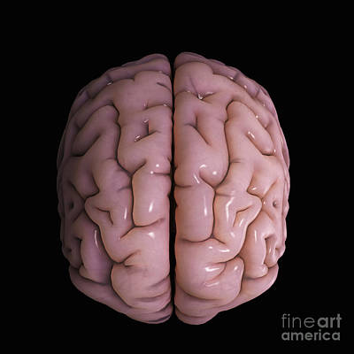 Cerebral Hemisphere Photograph - Human Brain by Science Picture Co