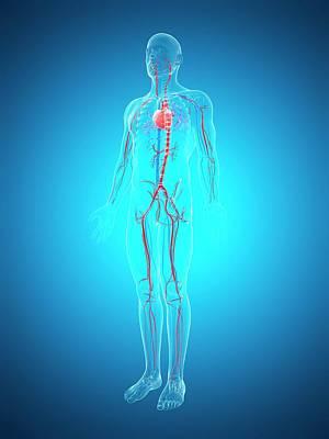 Biomedical Illustration Photograph - Human Cardiovascular System by Sebastian Kaulitzki