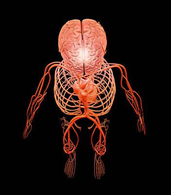 Human Circulatory And Nervous Systems Art Print