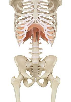Human Diaphragm Art Print by Sciepro
