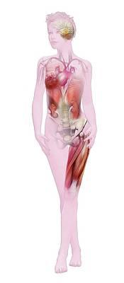 Physiology Photograph - Human Female Anatomy by Mikkel Juul Jensen
