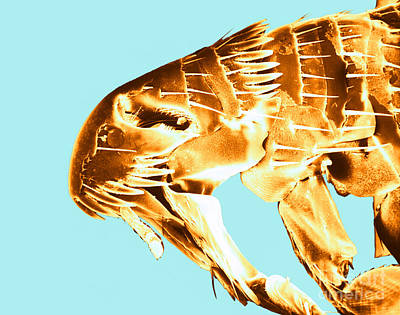 Photograph - Human Flea, Sem by David M Phillips