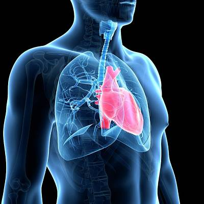 Airways Photograph - Human Heart And Lungs by Sebastian Kaulitzki
