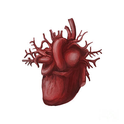 Illustration Art Photograph - Human Heart Medical Diagram Isolated On White by Jorgo Photography - Wall Art Gallery