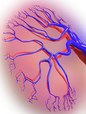 Human Kidney Art Print by Alfred Pasieka
