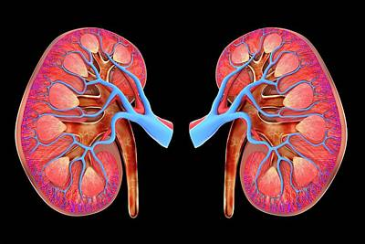 Digitally Generated Image Photograph - Human Kidneys by Alfred Pasieka