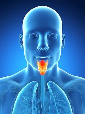 Human Voice Photograph - Human Larynx by Sebastian Kaulitzki