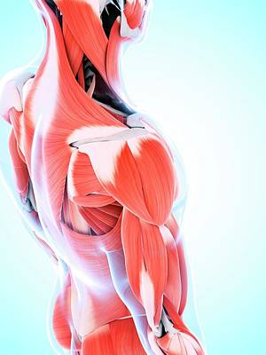 Human Muscular System Of The Shoulder Art Print by Sebastian Kaulitzki