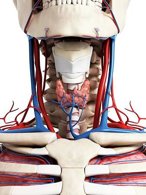 Biomedical Illustration Photograph - Human Neck Anatomy by Sebastian Kaulitzki