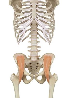 Human Pelvis Muscles Art Print by Sciepro