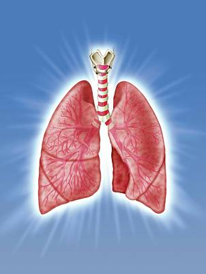Airways Photograph - Human Respiratory System by Harvinder Singh