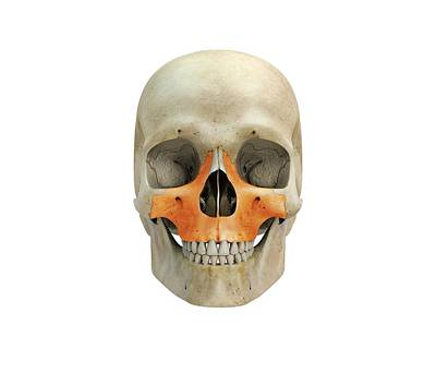 Human Skull And Maxilla Bones Art Print