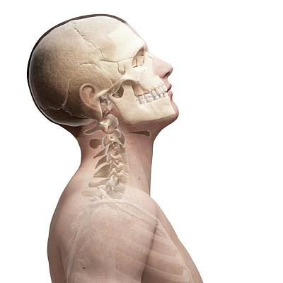 Human Head Photograph - Human Skull And Neck Bones by Sebastian Kaulitzki