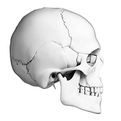 Biomedical Illustration Photograph - Human Skull by Sebastian Kaulitzki