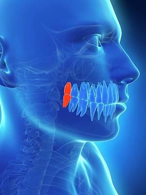 Human Wisdom Teeth Art Print by Sebastian Kaulitzki