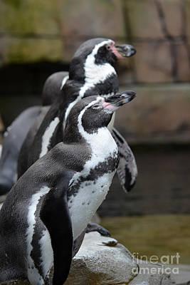 Digital Art - Humboldt Penguin  by Eva Kaufman