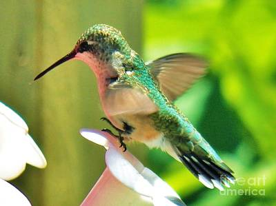 Photograph - Hummingbird 3 2014 by Judy Via-Wolff