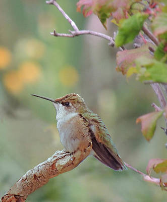 Photograph - Hummingbird by Amalia Jonas