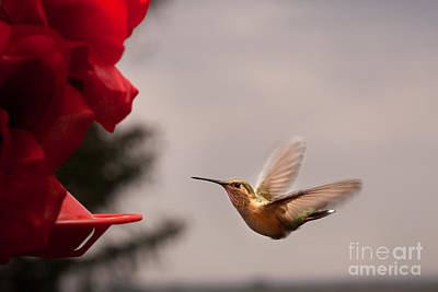Photograph - Hummingbird At Feeder by Cindy Singleton