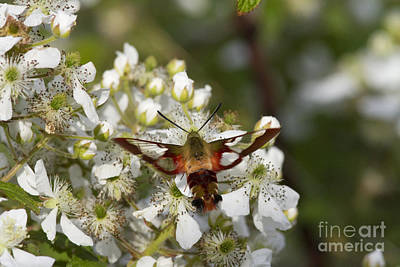 Photograph - Hummingbird Clearwing Moth by Linda Freshwaters Arndt