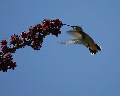 Photograph - Hummingbird by Ernie Echols