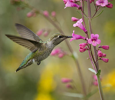 Hummingbird Heaven  Art Print